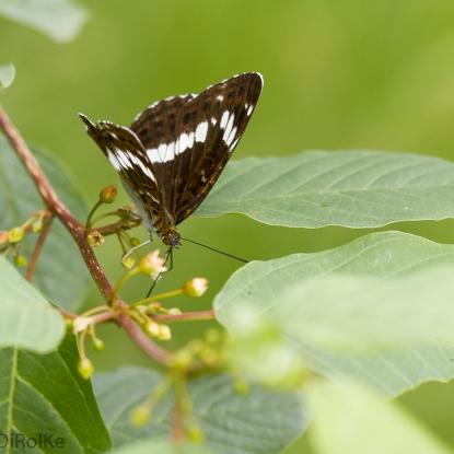 Schone weerschijnvlinder