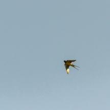 Boeren Zwaluw